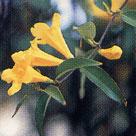 カロライナジャスミン ◆ 長寿、甘いささやき