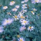よめな ◆ 可憐、隠れた美しさ